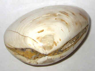 Fossil Clams for Sale