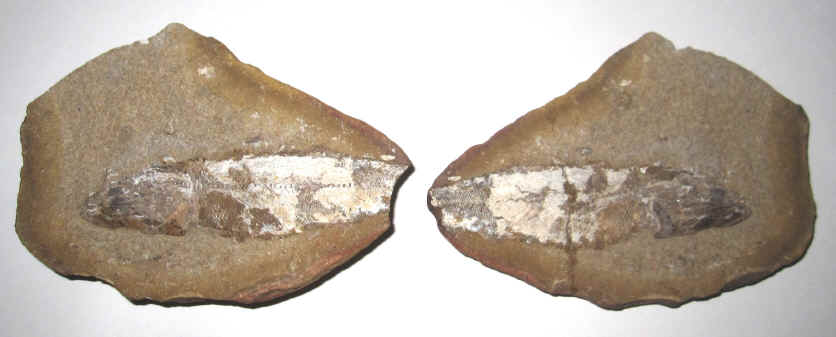 Fossil fish for sale for Fish fossils for sale